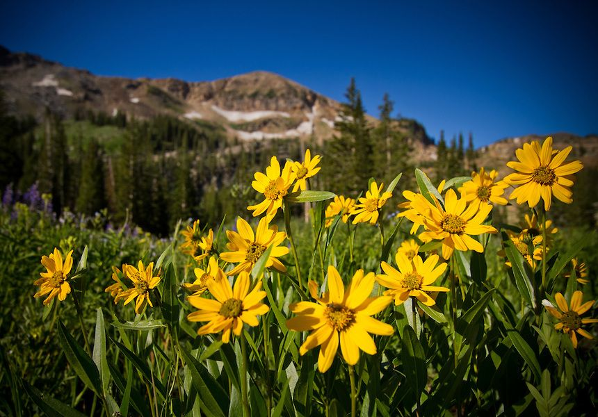 Utah Wildflower Landscape Mountain Wildflowers Near Albion Basin In The Wasatch Mountains Of Mountains Scenic Photography Wild Flowers