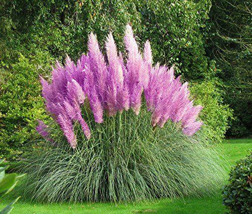 beet mit pampasgras, pampasgras - 150 samen - cortaderia selloana - ziergras - der, Design ideen