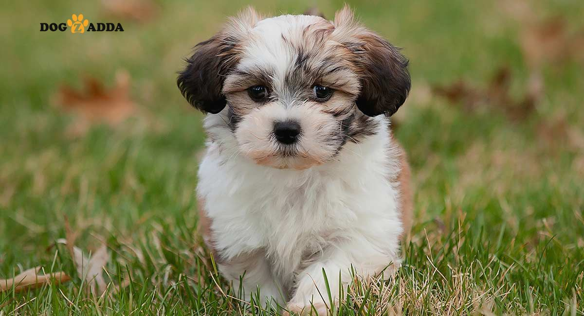 Shih Tzus Are Small Hardy Dogs That Have A Lion S Mane And