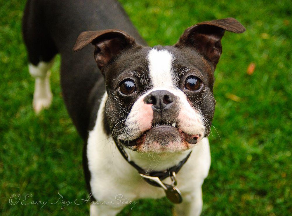 Boston Terrier Bostonterrier Dog Http Www Everydoghasastory Com Dogs Dog Photography Dog Love