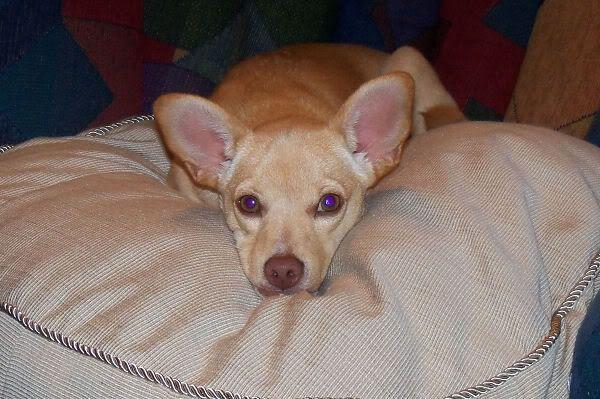Our New Dog Basenji Chihuahua Mix Chihuahua Mix Chihuahua Dogs