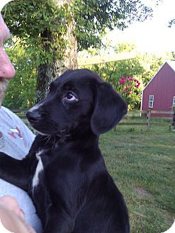 Another Lab Plott Mix That Was Reportedly Adopted Sebastian Adopted Puppy Lynnville Tn Labrador Retrieve Plott Hound Mix Plott Hound Labrador Retriever