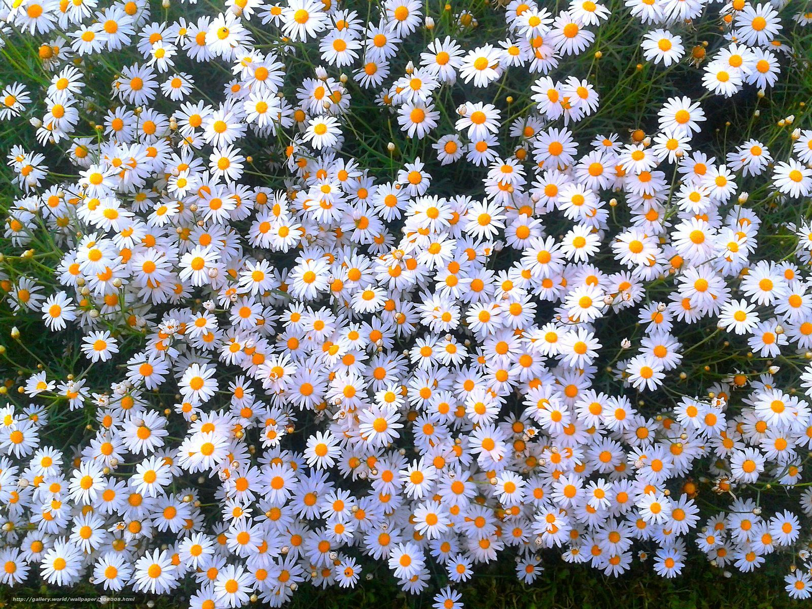 Daisies Field The iPhone Wallpapers Ромашки