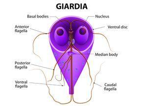 giardia citológia zentel kezelés