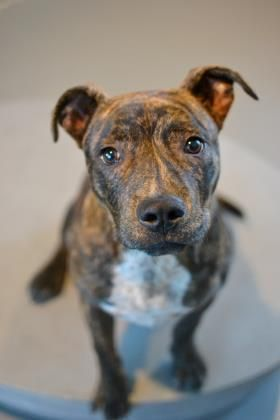 Adopt Tiger On Pitbull Terrier Bull Terrier Mix Terrier Mix Dogs