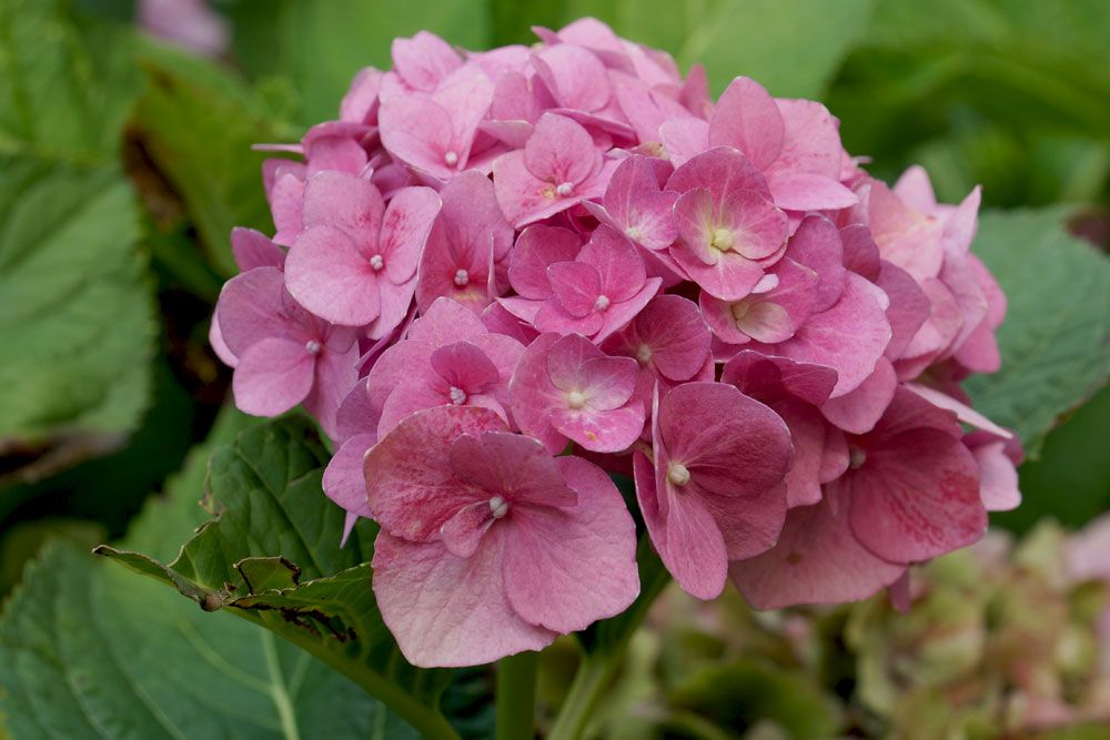 Hortensien Im Topf Kubel 12 Pflege Tipps Und Infos Zum Uberwintern Hortensien Garten Hydrangea Petiolaris Hortensien