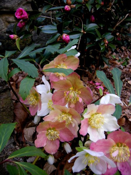 Helleborus niger 'Jacob' with Camellia x 'Winter's Joy' variety that flowers in November