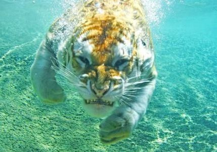 Underwater tiger -- the only cat that likes water!