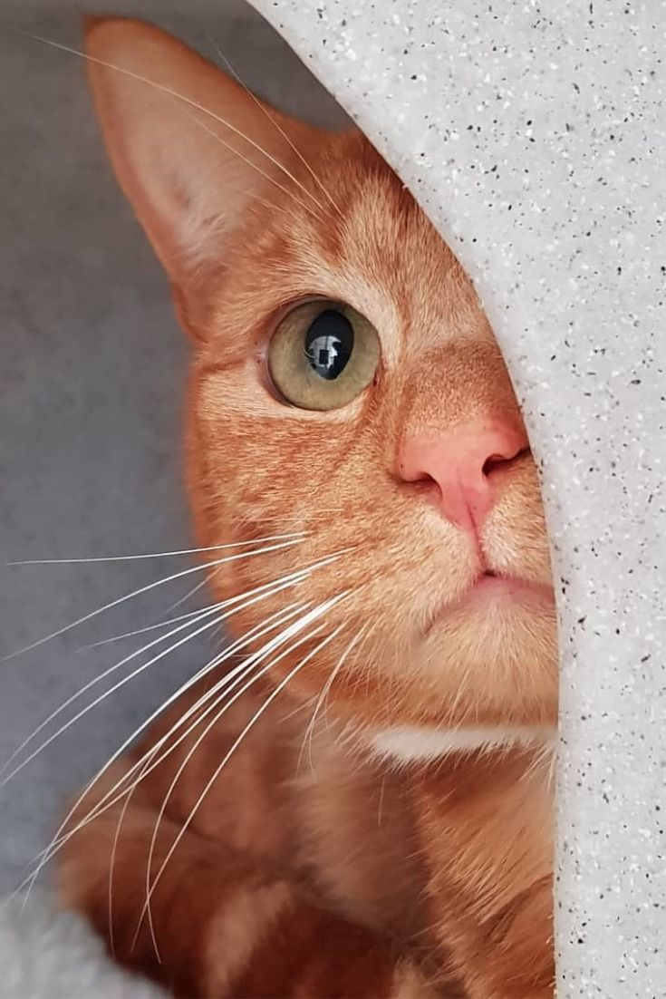 Peekaboo I see you! How lovely is this Ginger Tom cat