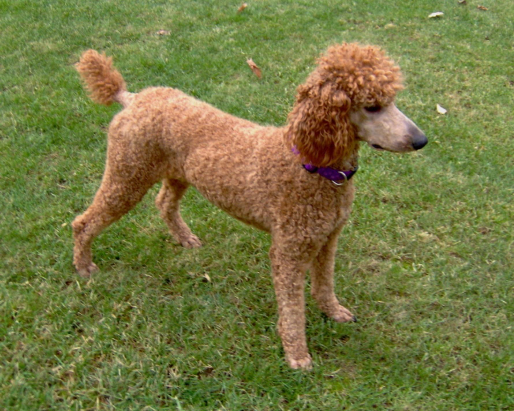 Standard Poodle Dog Brown Standard Poodle Dog Free Wallpaper In