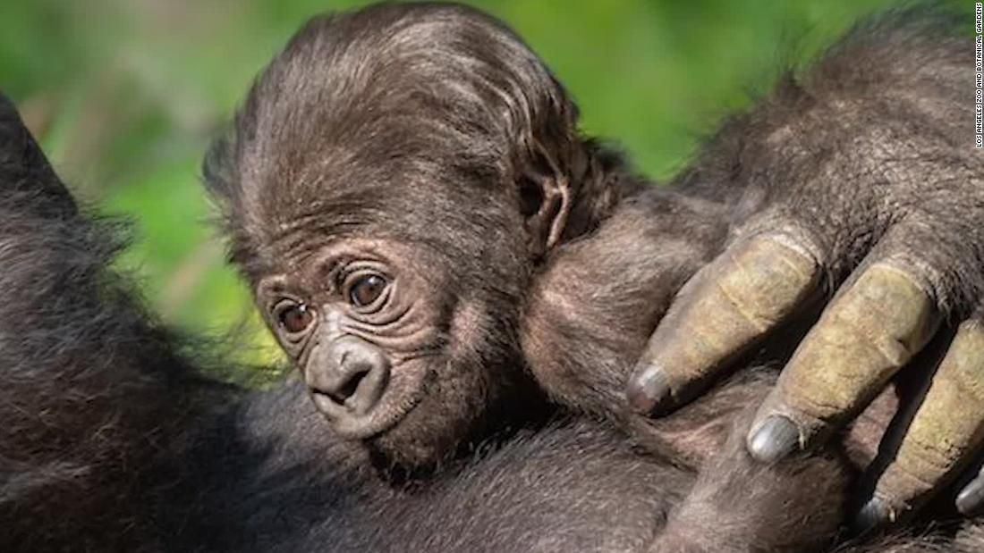 Los Angeles Zoo Welcomes Baby Gorilla In 2020 Los Angeles Zoo Baby Gorillas Gorilla