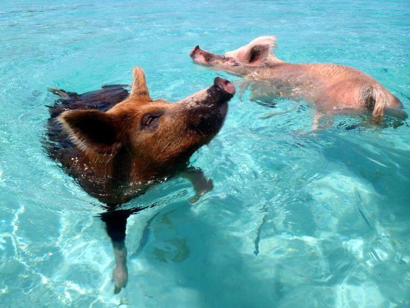 Saucool: Mit Schweinen auf den Bahamas schwimmen – Bild: (CC) Flickr / cdorobek www.einfachtierisch.de