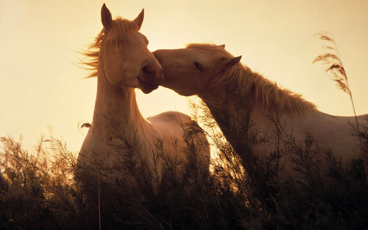 Great Wallpaper Horse Couple - 3f560380d95f024dc3d64706ef7915fc  You Should Have_754815.jpg