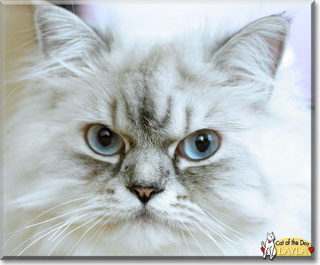 Read Layla's story the Persian Cat from Greensboro, North Carolina and see her photos at Cat of the Day http://CatoftheDay.com/archive/2014/September/02.html .