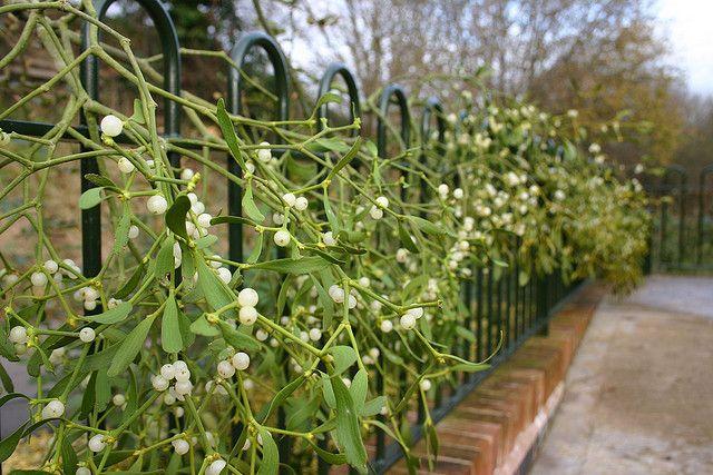 25 seeds BOGO 50/% off SALE Aconitum Napellus Monkshood