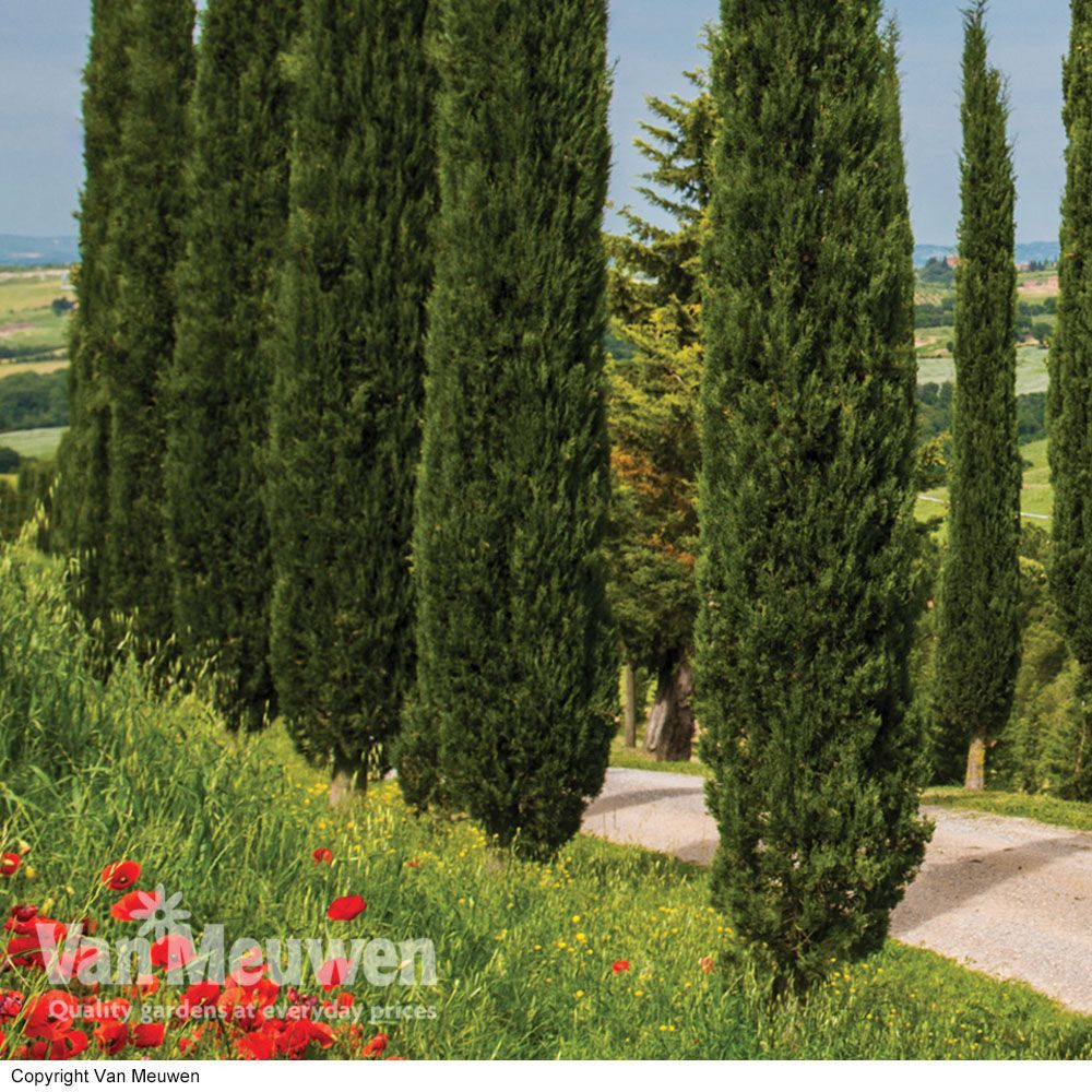 Small Homefront Design Ideas: Italian Cypress - Trees - Van Meuwen