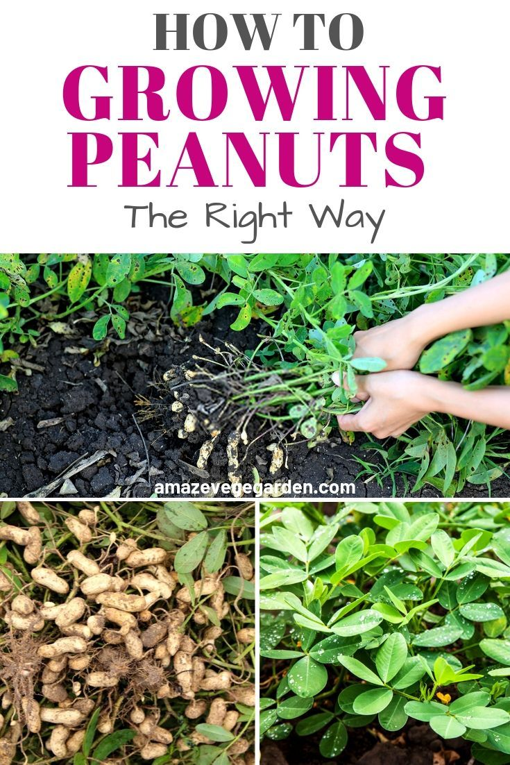 How to growing peanuts the right way growing peanuts