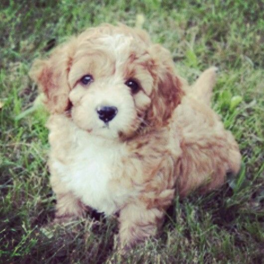 A Lovely Little Cavapoo Puppy Cavapoo Puppies Puppies