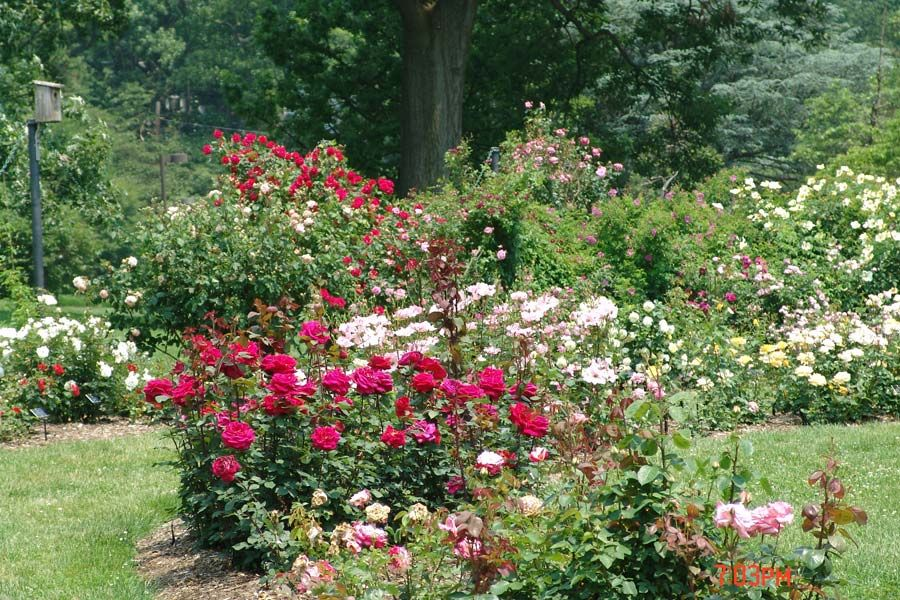 17 Best 1000 images about Roses on Pinterest Gardens In the garden