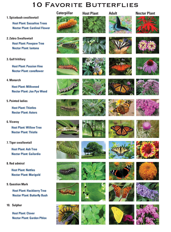 Catepillar   Host Plant   Adult   Nectar Plant Texas Butterflies Chart