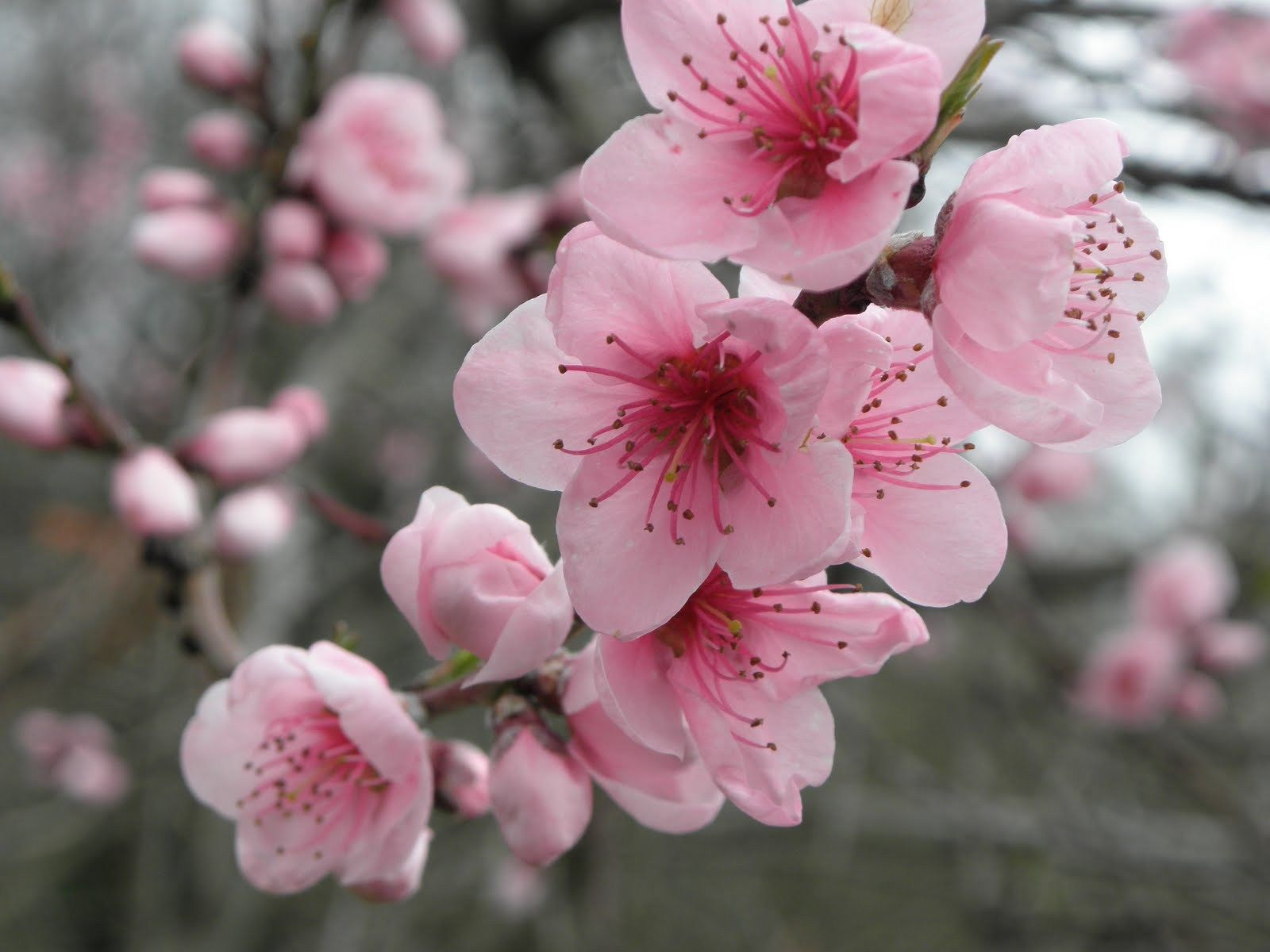 Resultat De Recherche D Images Pour Peindre Des Fleur De Cerisiers
