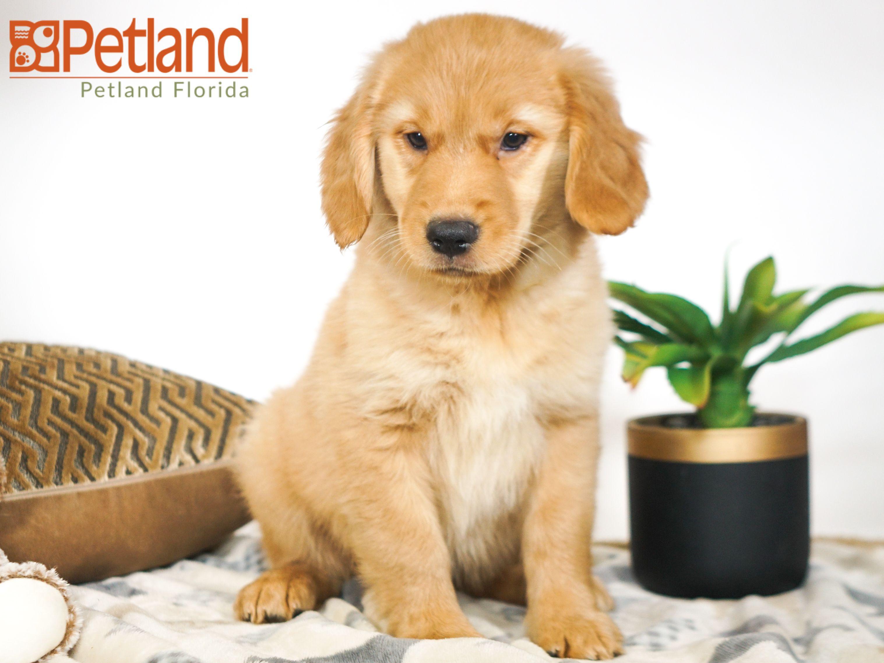 Petland Florida has Golden Retriever puppies for sale