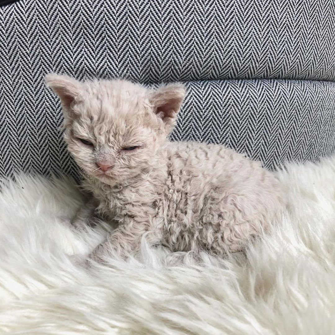 Kitten In 2020 Cute Cats And Kittens Selkirk Rex Kittens And Puppies