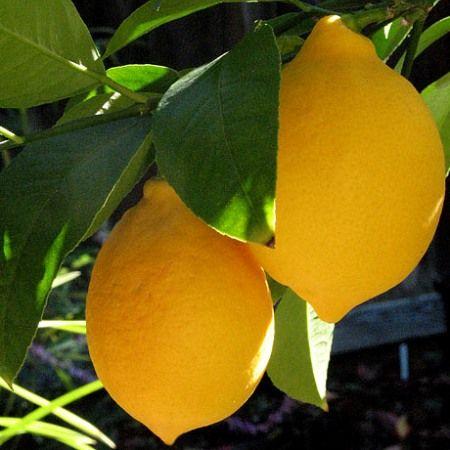 Lemon Trees In 2020 Lemon Plant Fruit Lemon