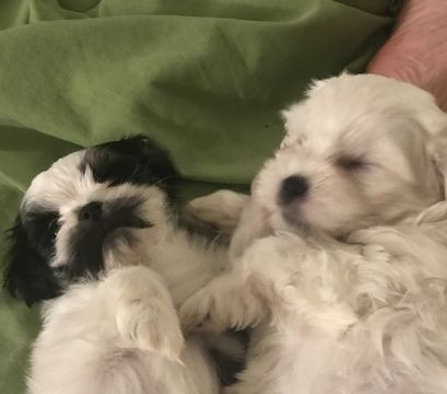 Lhasa-Poo-Mal-Shi Mix puppy for sale in APPLETON, WI  ADN