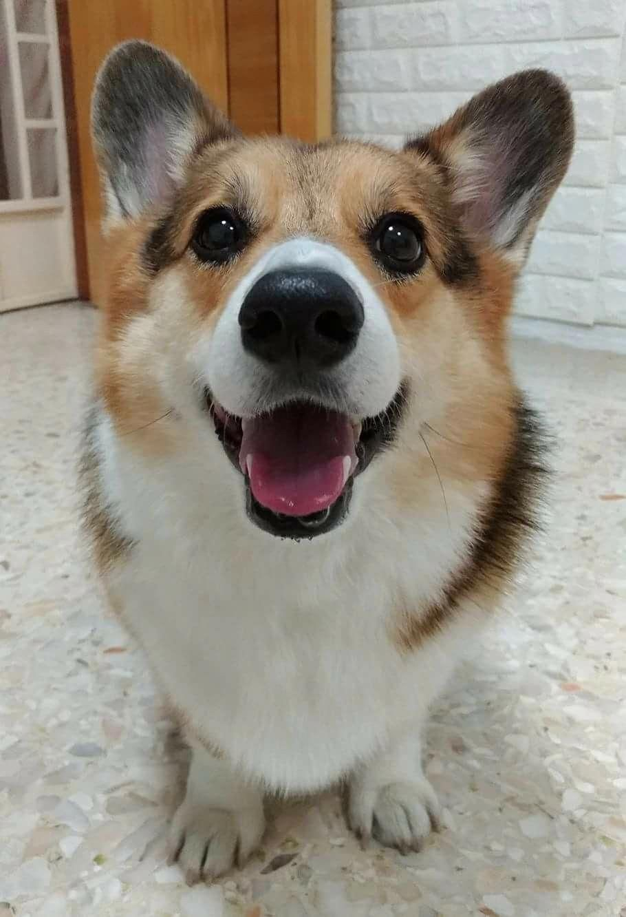 Corgi Smile Corgis Do You Love Cute Dogs Like This Follow