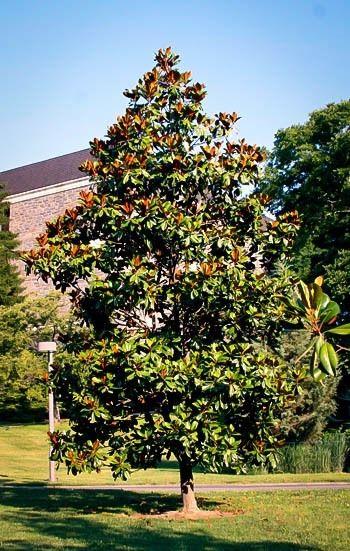 Edith Bogue Southern Magnolia Evergreen Garden Magnolia