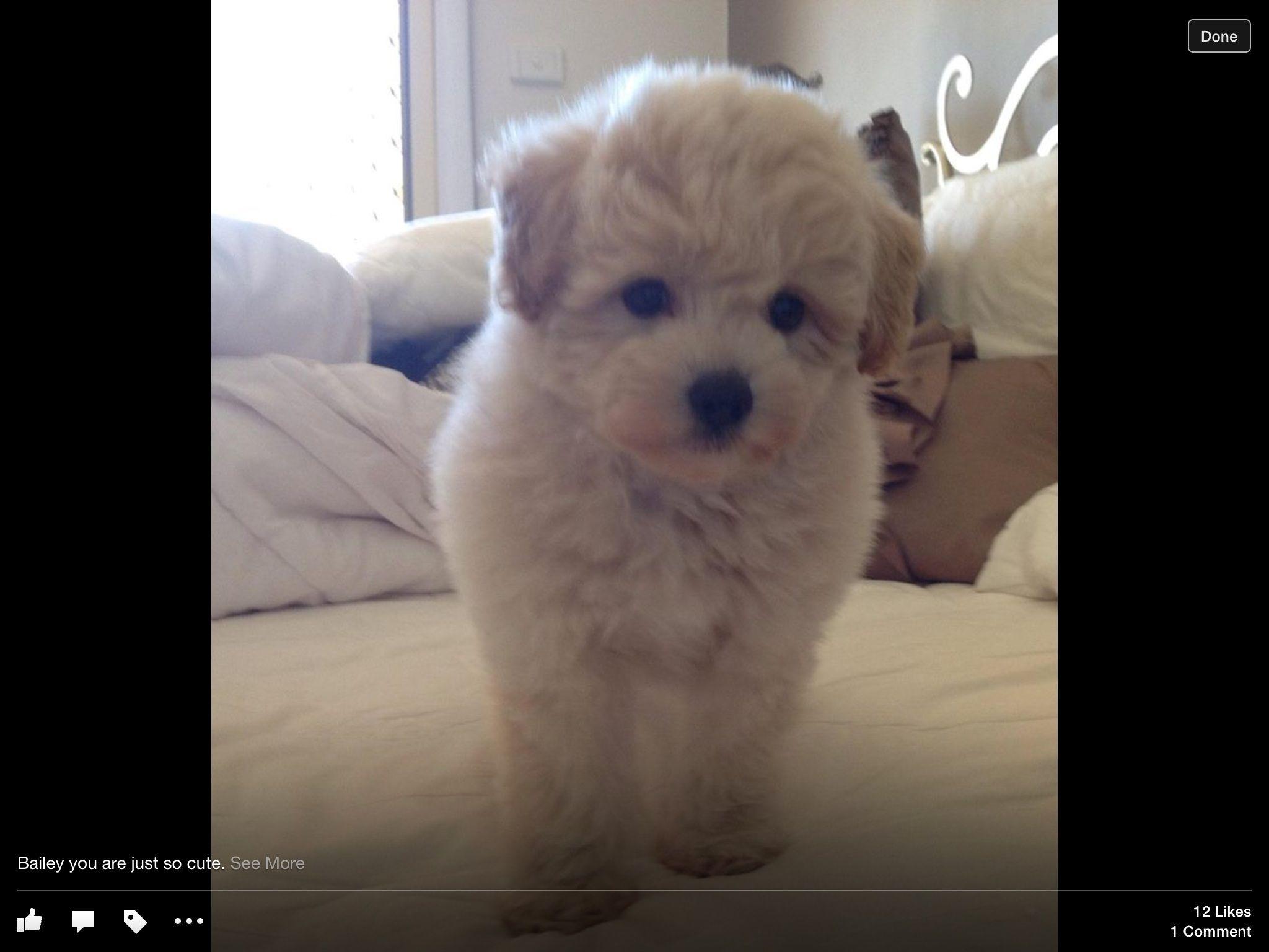 Bailey My Gorgeous Japoodle Puppy