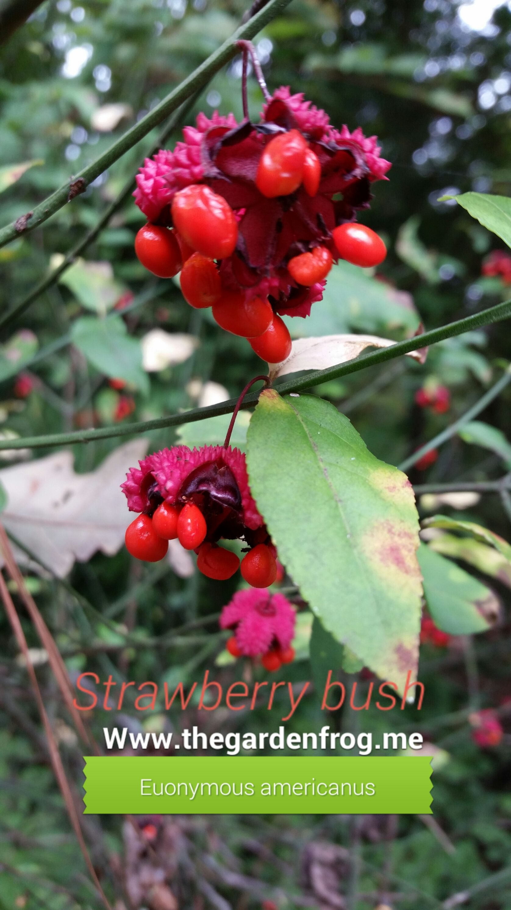 Euonymous americanus STrawberry bush woodland native, deer eat it too
