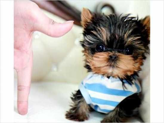 Looking For A Toy Size Or Teacup Yorkie Puppy For Sale We Raise