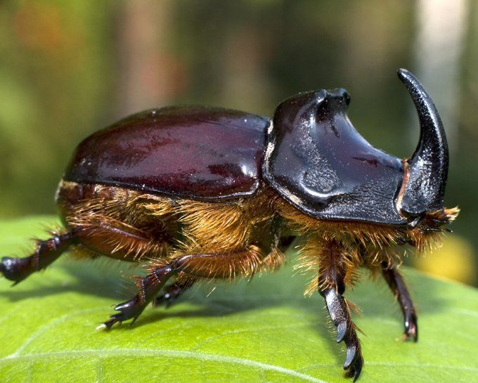 Symbolic Beetle Meaning Spiritual Pinterest Beetles