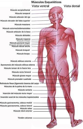 sistema muscular - Buscar con Google | muscles | Pinterest | Sistema ...