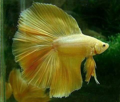 Gold Doubletail Fullmoon Betta Betta Fish Types Betta Fish Betta