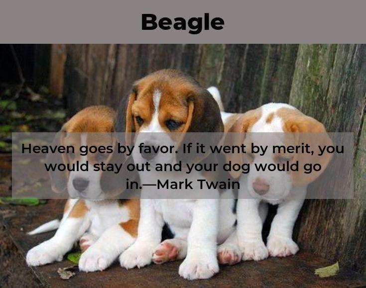 Beagle Beaglebaby Beagles Full Grown Beagle Pinterest