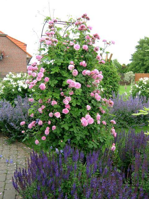 Louise Odier Blumen und Garten Pinterest Schöne gärten, Rose - mein schoner garten gartenplaner