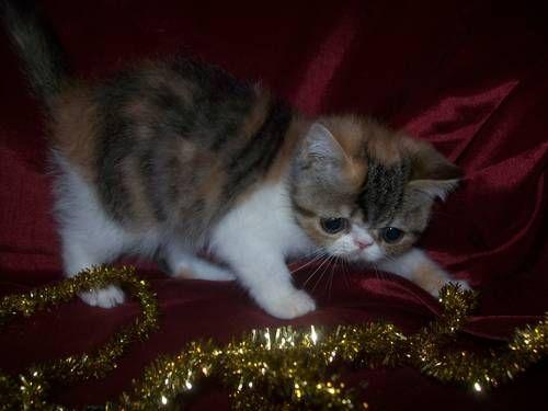 Cfa Registered Exotic Shorthair Persian Kitten Persian Kittens Exotic Shorthair