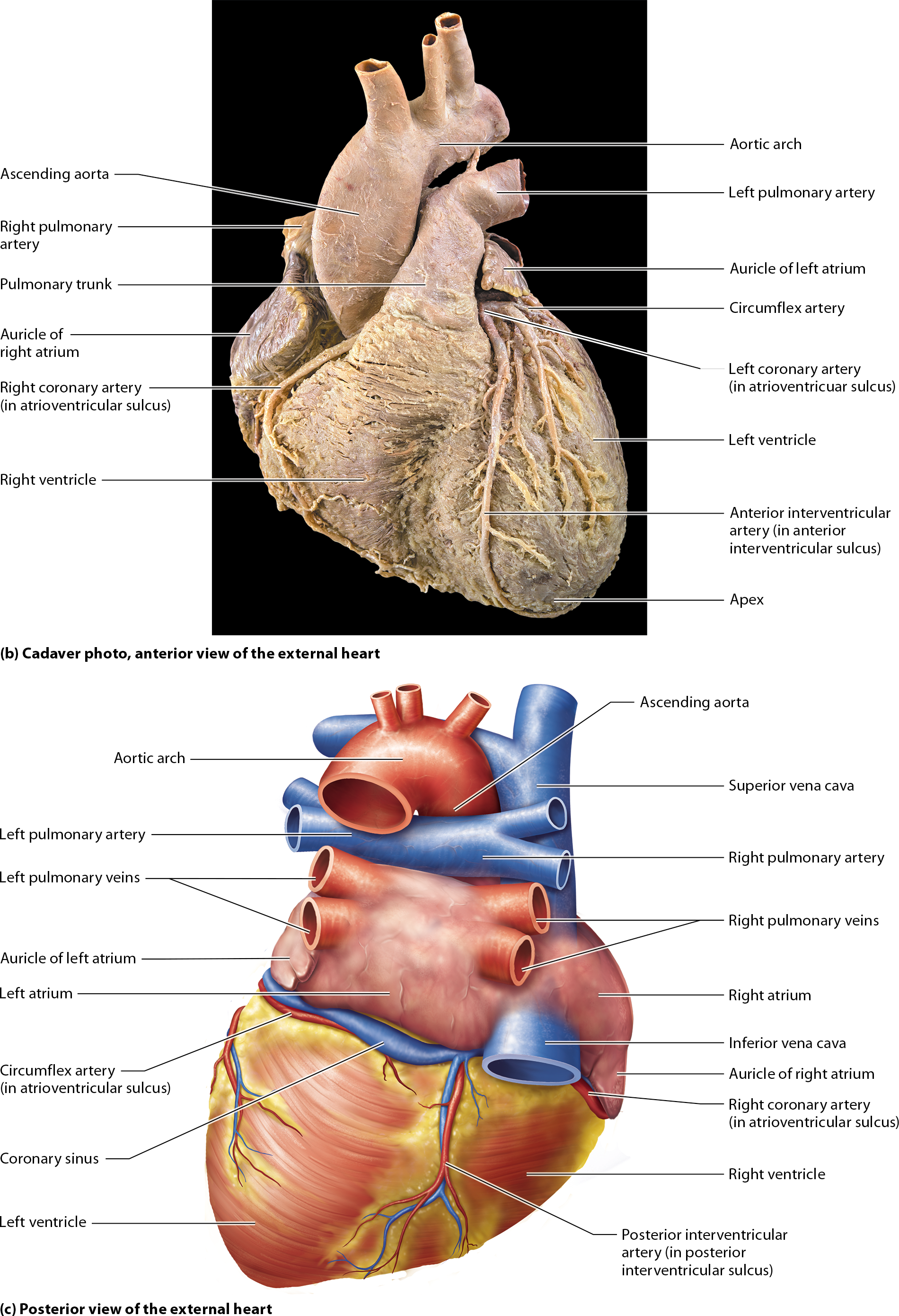 Module 17.2 Heart Anatomy and Blood Flow Pathway: Human Anatomy and ...