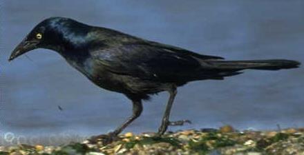Birds of East Texas   COMMON GRACKLE   The Texas Breeding ...