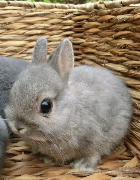 Adorable tiny gray netherland dwarf  bunny!