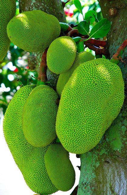 Artocarpus Heterophyllus Fruits Du Jacquier Ou Jaquier Fruit Du