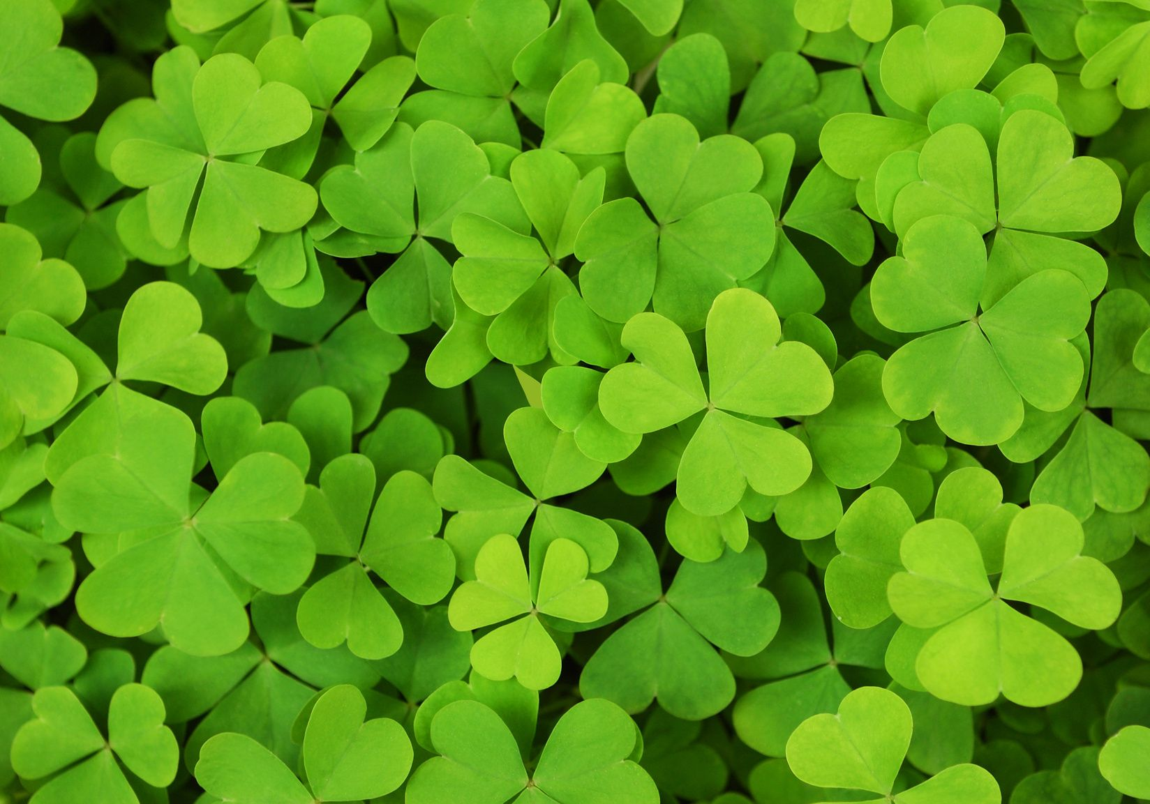 Beautiful shamrock hd wallpapers http69hdwallpapers beautiful shamrock hd wallpapers http69hdwallpapersbeautiful shamrock hd wallpapers voltagebd Image collections