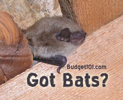 Bats Bats And More Bats Bat Removal Pest Control Pest Control Bat Repellent Pests