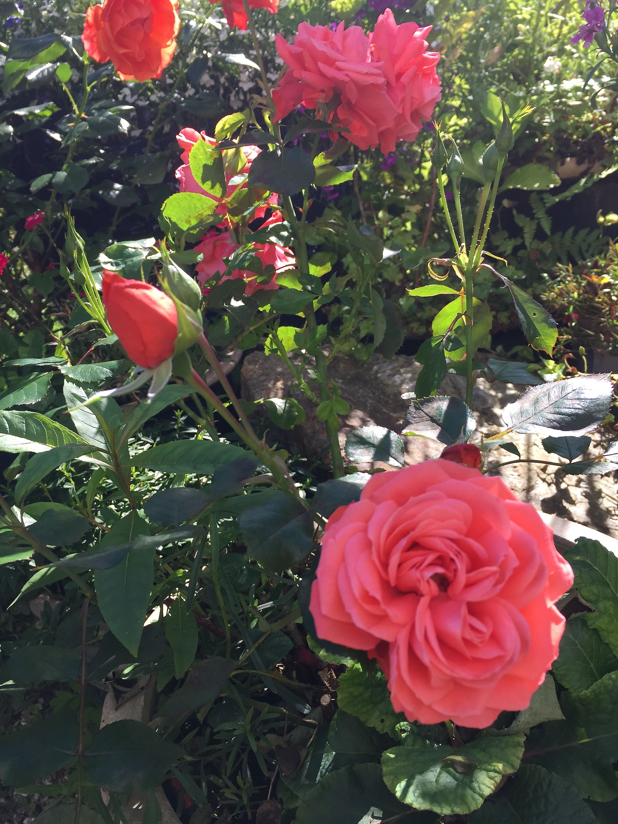 I´m particularly fond of this rose because of the rare color :) - in my garden Margeritten by Inger Johanne 2015 :)