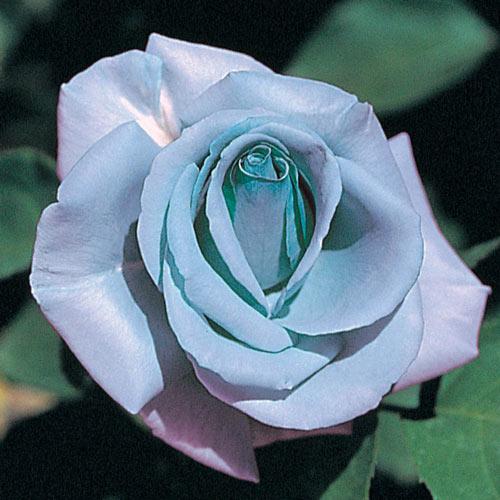 Blue Girl Hybrid Tea Rose Gurney S Seed Nursery Co In 2020 Hybrid Tea Roses Tea Roses Hybrid Tea Roses Care