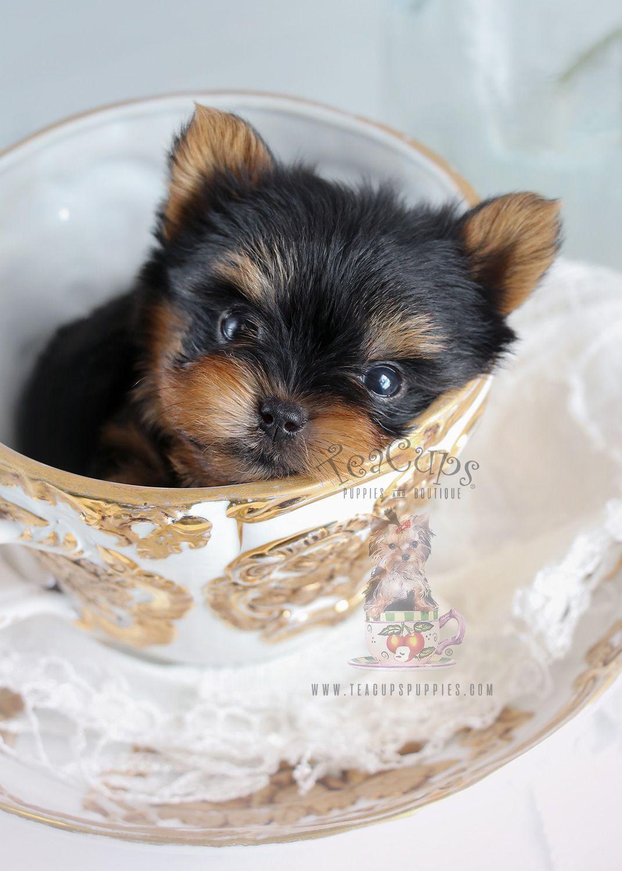 Tiny Teacup Yorkie Puppy Teacup Yorkie Puppy Yorkie Puppy Yorkshire Terrier Puppies