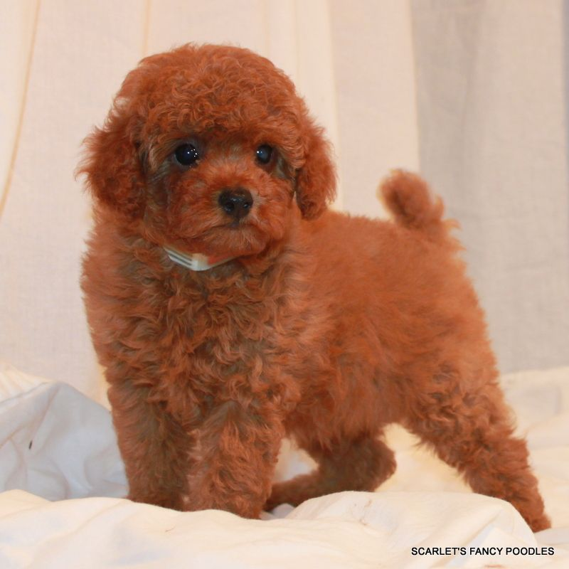 Red And Apricot Poodles Scarlets Fancy Poodles Akc Poodle
